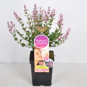 """Dwergsering (syringa Bloomerang®""""Pink Perfume""""Parfume de Nature)"""