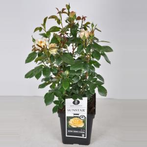 Trosroos (rosa Sunstar®) - C5 - 1 stuks