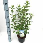 "Hydrangea Paniculata ""Limelight""® pluimhortensia"