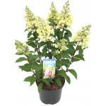 "Hydrangea Paniculata ""Pinky Winky""® pluimhortensia"