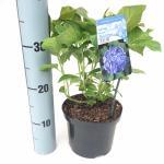 "Hydrangea Macrophylla ""Blue Arrow"" boerenhortensia"