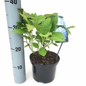 """Hydrangea Macrophylla """"Nikko Blue"""" boerenhortensia"""
