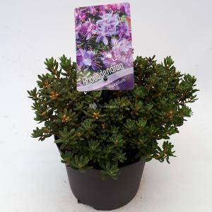 Korting Dwerg rododendron (Rhododendron Impeditum ) heester 20 25 cm 1 stuks