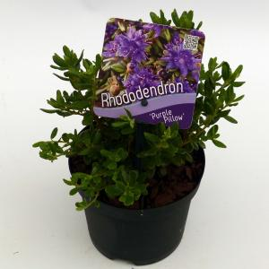 "Dwerg rododendron (Rhododendron ""Purple Pillow"") heester - 8 stuks"
