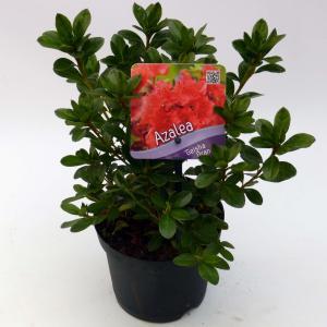 Korting Rododendron (Rhododendron Japonica Geisha Orange ) heester 12 20 cm 8 stuks