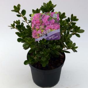 """Rododendron (Rhododendron Japonica """"Geisha Purple"""") heester"""