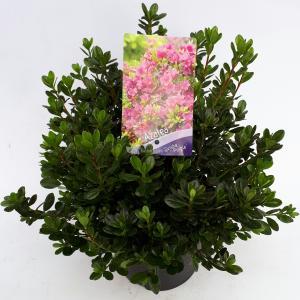 Korting Rododendron (Rhododendron Japonica Geisha Purple ) heester 30 35 cm 1 stuks
