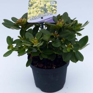 "Dwerg rododendron (Rhododendron ""Shamrock"") heester - 15-20 cm - 8 stuks"