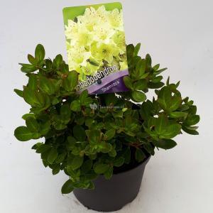 "Dwerg rododendron (Rhododendron ""Shamrock"") heester - 20-25 cm - 1 stuks"