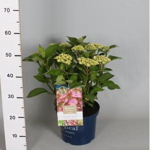 Hydrangea Macrophylla Magical Harmony Roze® boerenhortensia - 30-40 cm - 1 stuks