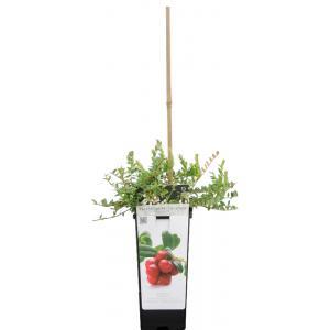 "Cranberry (vaccinium macrocarpon ""Pilgrim"") fruitplanten"