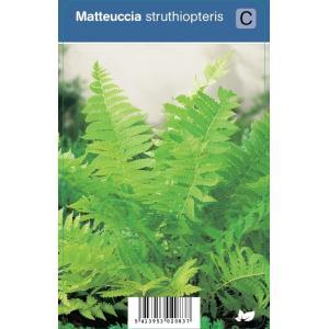 Bekervaren (matteuccia struthiopteris) schaduwplant