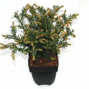 "Kruipende taxus (Taxus baccata ""Repandens"") conifeer"
