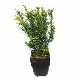 Taxus (Taxus media Hicksii) conifeer
