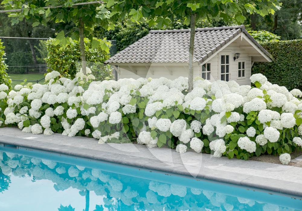 hydrangea arborescens strong annabelle sneeuwbalhortensia. Black Bedroom Furniture Sets. Home Design Ideas