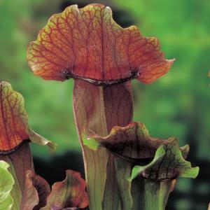 "Oranjebruine trompetbekerplant (Sarracenia ""Maroon"") moerasplant"