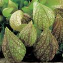 Papegaai bekerplant (Sarracenia psittacina) moerasplant