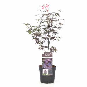 "Japanse esdoorn (Acer palmatum ""Black Lace"") heester"