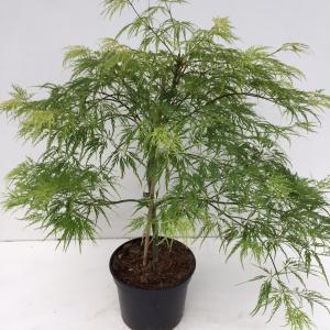 """Japanse esdoorn (Acer palmatum """"Dissectum"""") heester"""