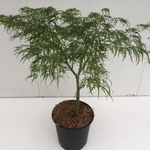 Japanse esdoorn (Acer palmatum Dissectum) heester - 50-60 cm - 1 stuks