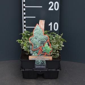Kardinaalsmuts (euonymus fortunei Emerald Gaiety) bodembedekker - 4-pack - 1 stuks
