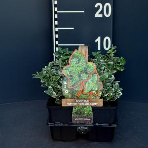 Kardinaalsmuts (euonymus fortunei Emerald Gaiety) bodembedekker - 6-pack - 1 stuks