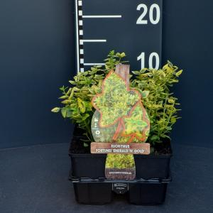 Kardinaalsmuts (euonymus fortunei Emerald 'n Gold) bodembedekker - 6-pack - 1 stuks