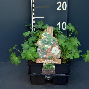 """Ooievaarsbek (geranium cantabrigiense """"Biokovo"""") bodembedekker - 6-pack - 1 stuks"""
