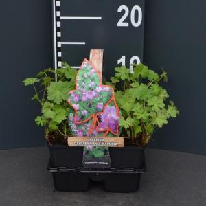 """Ooievaarsbek (geranium cantabrigiense """"Karmina"""") bodembedekker"""