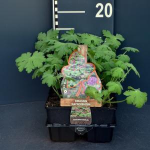 Ooievaarsbek (geranium macrorrhizum) bodembedekker - 6-pack - 1 stuks