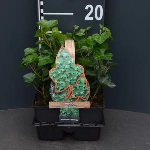 Klimop (hedera hibernica) bodembedekker