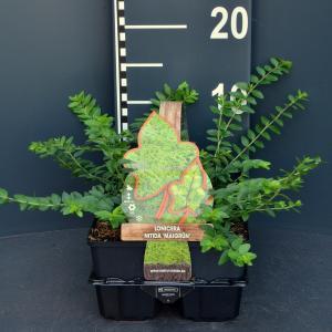 "Struikkamperfoelie (lonicera nitida ""Maigrun"") bodembedekker - 6-pack - 1 stuks"