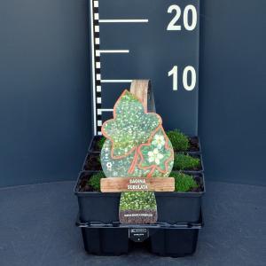 Vetmuur (sagina subulata) bodembedekker - 6-pack - 1 stuks