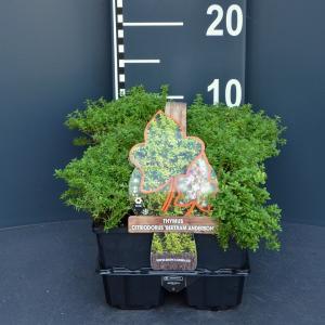 "Citroentijm (thymus citriodorus ""Bertram Anderson"") bodembedekker - 6-pack - 1 stuks"