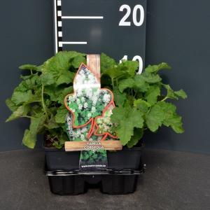Schuimbloem (tiarella cordifolia) bodembedekker - 4-pack - 1 stuks