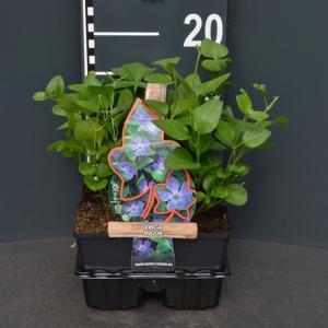 Grote maagdenpalm (vinca major) bodembedekker - 4-pack - 1 stuks