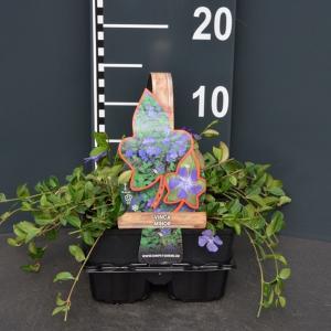 Kleine maagdenpalm (vinca minor) bodembedekker - 4-pack - 1 stuks