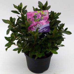 "Rododendron (Rhododendron Japonica ""Konigstein"") heester"