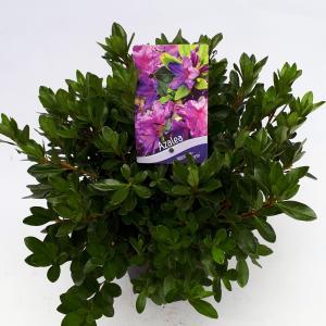 Rododendron (Rhododendron Japonica Konigstein) heester - 30-35 cm - 1 stuks