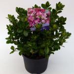 "Rododendron (Rhododendron Japonica ""Izum-No-Mai"") heester"