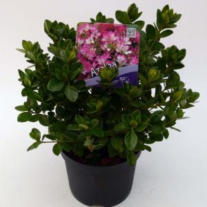 "Rododendron (Rhododendron Japonica ""Izum-No-Mai"") heester - 15-20 cm - 8 stuks"