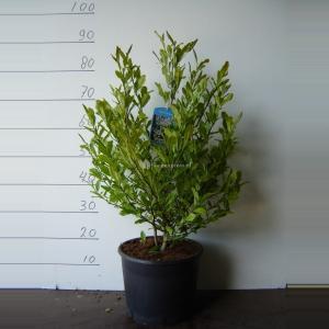 Magnolia struik Stellata - 50 - 70 cm - 5 stuks