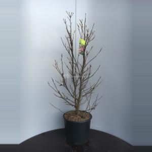 Magnolia struik Susan - 90 - 110 cm - 4 stuks