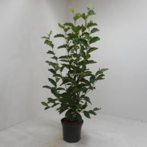 Magnolia struik Soulangeana - 125 - 150 cm - 4 stuks