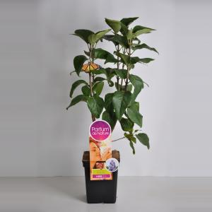 "Sering (syringa vulgaris ""Nadezhda""Parfum de Nature)"
