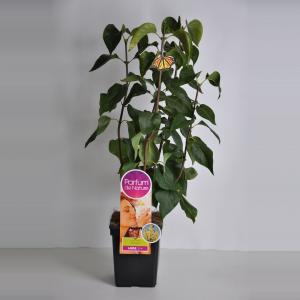 "Sering (syringa vulgaris ""Primrose""Parfum de Nature)"