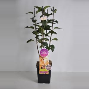 "Sering (syringa vulgaris ""Sensation""Parfum de Nature)"
