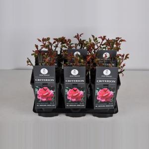 """Grootbloemige roos (rosa """"Criterion"""")"""