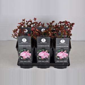 Trosroos (rosa Laminuette)