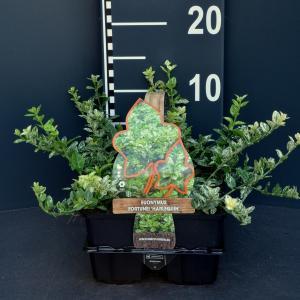 Kardinaalsmuts (euonymus fortunei Harlequin) bodembedekker - 6-pack - 1 stuks